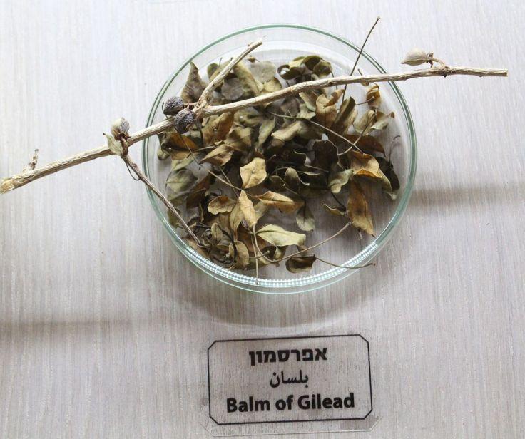 Balm_of_Gilead_IMG_97811